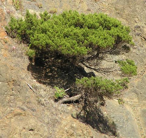 Juniperus turbinata