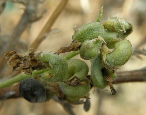Frutos de Medicago sativa