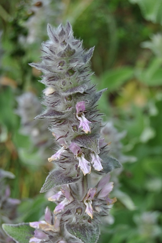 Stachys germanica ssp.cordigera