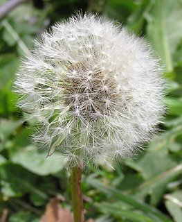 Frutos de Taraxacum officinale